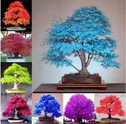2019 bonsai giapponese d'acero semi di albero 20 semi di acero bonsai blu acero albero giapponese semi di acero Balcone piante per giardino di casa bonsai giapponese d'acero economici