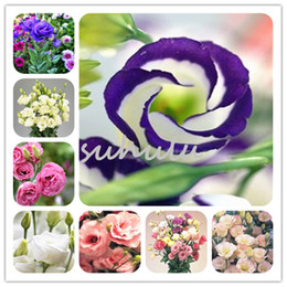 fb9e43385b5e 100 Pcs Hot Sale Lisianthus seed Rare Eustoma Seeds Perennial Flowering  Plants Balcony Potted Flowers Seeds Lisianthus for DIY Home   Garden  discount rare ...
