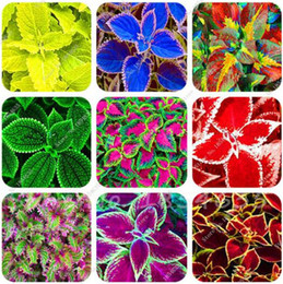 Wholesale Grass Seed Planting - 200 Pcs Colored Grass Seeds, Perennial Flower Seeds Potted Bonsai Plant Coleus Blumei Flower Seeds Coleus Seeds For Home Graden