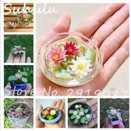 Wholesale Wholesale Plants Flowers - 5 Pcs Mini Lotus Seeds New Hyacinth Pond Seeds Water Lily Seeds Best Germinate Lotus Flower Indoor Fissidens Flower Bonsai Diy Garden Plants