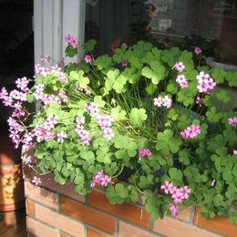 piante di ortaggi comuni Sconti Nuovi semi di fiori oxalis, bellissimi semi di piante in vaso Red Clover erba 200 particelle / sacchetto