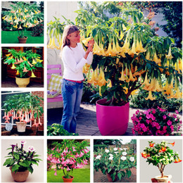 100 штук datura flower datura семена карликов Brugmansia suaveolens Flamenco angel's Трубы посадки datura экзотические семена для сада от