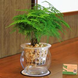 1 confezione originale 6 semi setose di asparagi, piccoli semi di bambù per bonsai da interno da semi di bonsai alberi interni fornitori