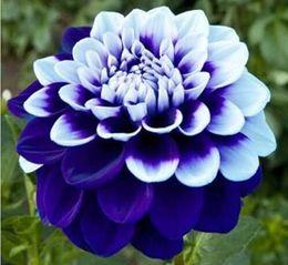 dahlia seeds Sconti 100 Pz Mix Dahlia Semi di fiori Grande Pianta Bonsai Pianta perenne Splendida fioritura Balcone Piante da giardino Decorazioni da giardino