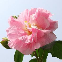giants taschen Rabatt Riesige Hibiscus Blumensamen, DIY Hausgarten Blume Pflanzensamen 100 Partikel / Tasche