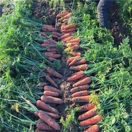 piantando pomodori di ciliegia Sconti Suntoday Cinese SCARLET CARROT Daucus Carota Semi di Ortaggi Giardino asiatico Pianta Heirloom Non-OGM Ibridi Semi Freschi Biologici