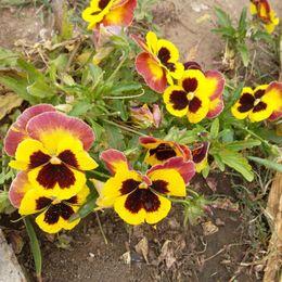 plantes roses du désert Promotion 1 Original Pack 50 Graines Pansy, Balcon Bonsaï Graines de fleurs résistantes au froid