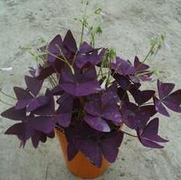 piante di ortaggi comuni Sconti 1 confezione originale 2 pezzi Semi di oxalis Woods Woods rossi, semi di fiori ornamentali perenni