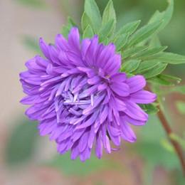 1 confezione originale 50 pezzi China aster crisantemo semi di fiori, abbondanti colori semi di fiori bonsai da