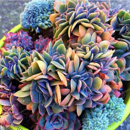 Wholesale Flower Plants For Sale - Best-Selling 100pcs Japanese Succulents Seeds Rare Indoor Flower Mini Cactus Seeds Fleshier Plant Polygon Flower Seeds For Sale