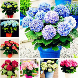 Wholesale China Plant Pots - 120 pcs bag bonsai flower hydrangea seed, garden plant china hydrangea balcony potted flower seeds budding rate 97% easy to grow