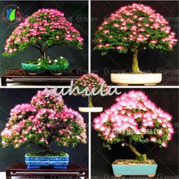 Wholesale Perennial Flower Plants - 30 Pcs Bag Rainbow Acacia Tree Seeds, (Albizia Julibrissin) ,So Beautiful Bonsai Flower Seeds Perennial Indoor Plant For Home & Garden
