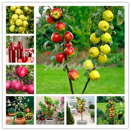Wholesale red apple trees - 100 Pcs Bonsai Apple Tree Seeds Rare Fruit Bonsai Tree -- Red Delicious Apple Dwarft Bonsai Garden For Flower Pot Planters