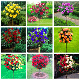 Wholesale Gardening Rose - 100 pcs bag rose tree rose seeds bonsai flower seeds tree seeds Chinese rare rainbow roses mixed colors give lover plant for diy home garden