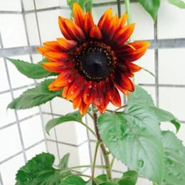 2019 piante da giardino di erba 1 confezione originale 15 semi di girasole rosso, giardino semi di cimelio semi di piante bonsai piante da giardino di erba economici