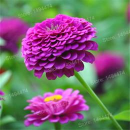 30 Adet karışık renk Zinnia Tohumları, Bonsai Saksı çiçek tohumları, Nadir Bahar Çiçekler bitkiler ev bahçe için nereden