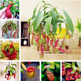 Crescente semi di vaso online-Free Shipping 100 pcs Nepenthes Seeds Balcony Dionaea Muscipula Potted Bonsai Plants Seeds Carnivorous Plants Seeds Easy to Grow Succulent