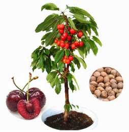 Wholesale plant cherry seeds - 10 cherry seeds, Australia black cherry tree seeds rare fruit tree seeds for home garden planting