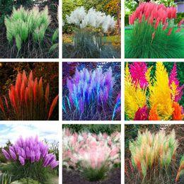 Semi di pampas online-Pampas Grass Seeds Colorfull Home Garden Plants Are Very Beautiful Fiori rari decorativi per giardino 200 PCS
