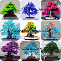 Wholesale trees wholesale red maple - 100% True 30 Pcs bag Japanese Red Maple Bonsai Tree Cheap Seeds Very Beautiful IndoorBonsai Tree Plants Pot Suit for DIY Home Garden