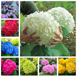 Wholesale China Plant Pots - 50 pcs bag hydrangea seed, bonsai flower seeds china hydrangea perennial garden flowers seeds outdoor plant pot