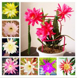 Variétés d'orchidées en Ligne-100 Pieces Bag Nopalxochia Seeds Rare Orchid Cactus Plant Potted Lotus Seed Variety Complete Easy To Plant Water Lily So Beauty
