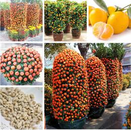 Semi di bonsai arancione online-20 Pz Citrus Reticulata Arancione Semi Nani Bonsai Mandarino Arancio Commestibile Dolce Agrumi Albero Per La Casa Giardino