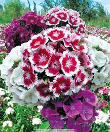 Suntoday Dwarf SWEET WILLIAM Mixed Colors Dianthus Barbatus Semillas de flores Asiático Planta de jardín Híbrido Sin OMG Orgánico Semilla fresca desde fabricantes