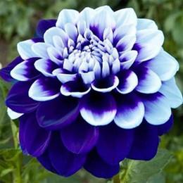bolsas de alfombra al por mayor Rebajas Mezcla colorida Dahlia semillas de flores en stock Gran planta de Bonsai Planta perenne / Jardín Semillas de flores hermosas