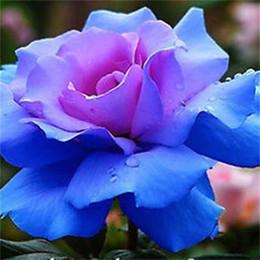 Fiori pianta da giardino a buon mercato online-Semi di fiori rosa blu in magazzino Grande pianta di bonsai pianta perenne giardino bella rosa semi economici