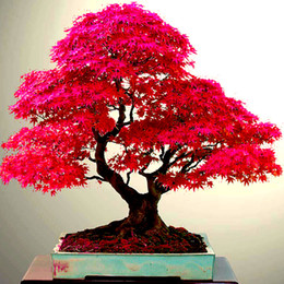 10 PZ Reale Giapponese Ghost Red Maple Tree Bonsai Semi, Acer palmatum atropurpureum, Bonsai SEMINA TUTTO L'ANNO da luce blu per le piante ha condotto fornitori
