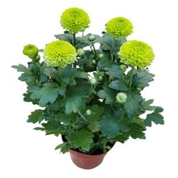 50 graines / sac English Daisy graines plantes Bellis perennis Rare bonsaï plantes à fleurs de chrysanthème pour le jardin à la maison ? partir de fabricateur