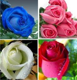 flores em vaso fácil Desconto Colorida Rainbow Mix Cor Fácil-crescimento Perene Sementes de Flores Bonsai bloom De Rose Sementes 100 Peças Em Vasos de flores DIY Casa Planta / jardim