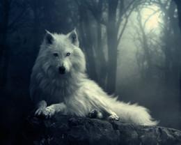 2019 imagens de cute girl sexy Lobo branco lobos cão animal art silk impressão poster 24x36 polegada (60x90 cm)