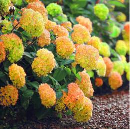 mescolare i semi di bonsai Sconti 30 pz Rare Giallo Semi di Ortensia Piante Misto Ortensia Fiori Casa Pianta Bonsai Viburnum semi di Fiori Per La Casa Giardino