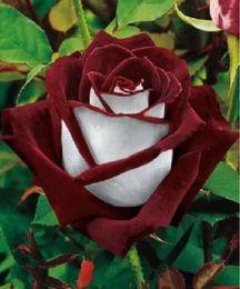 Vasi da giardino trasporto libero online-Ombre di trasporto libero rosso scuro e bianco dei semi del fiore della rosa * 100 semi per pacchetto * Balcone Barriera in vaso Fiori Piante da giardino