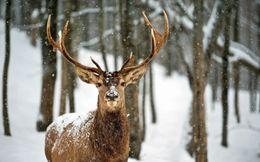 Giovane seta online-Giovane cervo in una foresta coperta di neve Art Silk Print Poster 24x36inch (60x90cm) 089