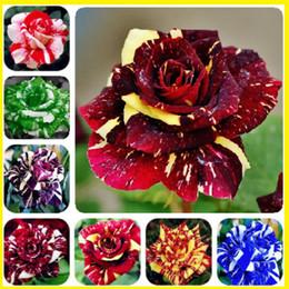 Vasi da fiori gratuiti online-Vendita calda di trasporto libero 100 semi di rosa rampicante piante semi spendere rose rampicanti in vaso fiore di casa pianta colorata drago colorato tigre rosa