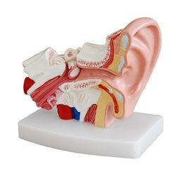 Orelhas ajudas on-line-1.5X Ampliado Orelha Humana Anatomia Modelo Orelha Modelo Anatômico para Aparelhos Auditivos Clínica Cuidados Com Os Ouvidos ensinar