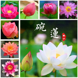 lírio, flor, sementes Desconto 10 pçs / saco sementes de lótus de flor de lótus plantas Aquáticas tigela de lótus sementes de lírio de água Planta Perene para casa jardim fácil de Crescer