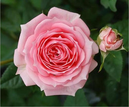 cespugli da giardino Sconti Colorful Rainbow Gardening Bush Gerani Flower Seeds Bonsai bloom Facile crescere da Rose Flower Seeds 100 pezzi per pacco Fiori matrimonio