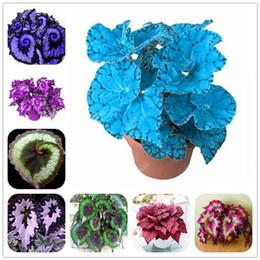 Semi fioriti unici online-100 pezzi unici 24 colori semi di fiori di begonia, cortile balcone semi di fiori in vaso Coleus, varietà completa, il tasso di crescita del 95%