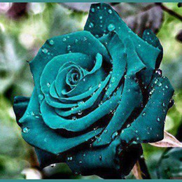 Semi scuri online-Beautiful Dark Green Rose Flower Seeds Home Garden Plants Decor Gift * 100 pezzi Semi per confezione * Valentine Lover