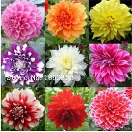 Free Shipping, 100pcs Lot Mixed Colors Dahlias Seeds For DIY Home Garden  Wholesale Type Flower Seeds Bulb