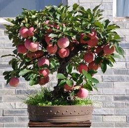 Wholesale Apple Trees UK - Trial product Bonsai Apple Tree Seeds 30 Pcs apple seeds (used wet sand sprouting )fruit bonsai garden in flower pots planters