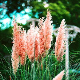 $enCountryForm.capitalKeyWord Canada - 2017 New Cheap 100 pcs bag colorful Pampas Grass Seeds Very Beautiful Garden Plants Bonsai For Home Garden P100203