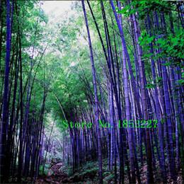 Редкий фиолетовый Тимор Бамбуковые семена Bambusa черные семена бамбука посадили двор Yi 100 PCS - пакет
