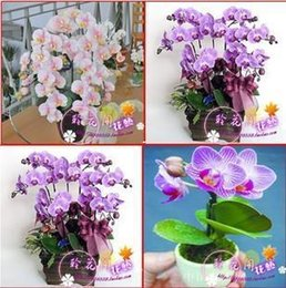 Wholesale New arrival aseptic hydroponic orchid seeds indoor flowers bonsai four seasons bag Grain seeds