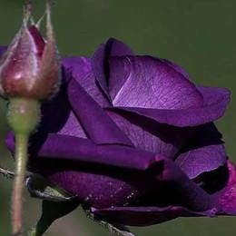 Discount rare beautiful flowers - D0010150 100 Pcs pack Rare Holland Beautiful Purple Rose Seeds Garden Decoration Bonsai Flower Seeds