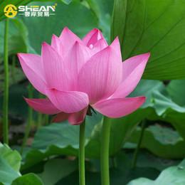 $enCountryForm.capitalKeyWord NZ - A Pack 20 Pcs Pink Bowl Lotus Seeds Balcony Patio Garden Potted Bonsai Plant Seeds Farm Nelumbo Nucifera Seed